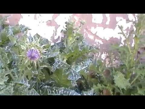 Cardo Mariano,Secreto de Salud y Belleza ,de nuestra Naturaleza 01