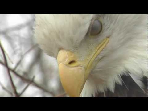 Bald Eagle Hunting – American Country Music cloned