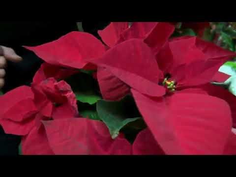 Mondini Plantas: Flor de Natal