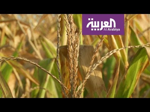 العربية معرفة: إنتاج طن من القمح يحتاج إلى ألف طن من المياه!