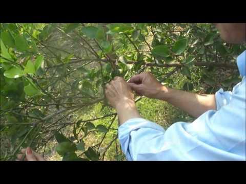 การตอนกิ่งมะนาว (ฅนภูไท)