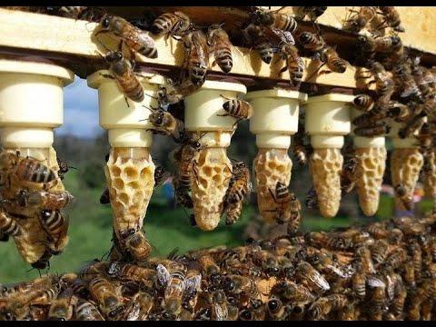Grafting And Raising Queen Honeybees