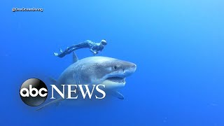 Divers swim alongside famous Deep Blue shark - ABCNEWS
