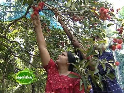 Rambuttan cultivation at Trivandrum