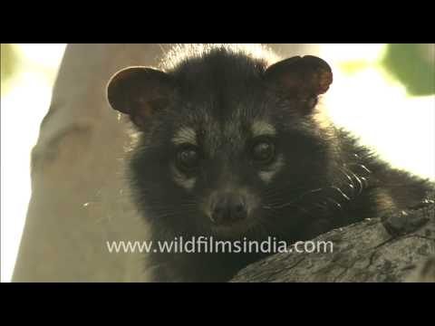 Cute little civet cat