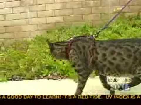 Savannah Cats in the News - Fox 6 San Diego