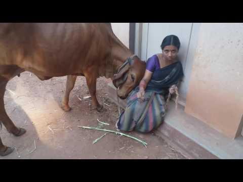 Lovable gir cow in SRI RAMA PRIYA