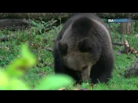 Orphaned Bear Cubs Released Back Into the Wild in the Tver Region