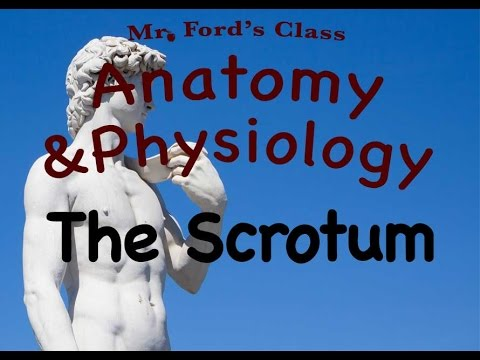 The Scrotum (Video 3 Male Reproductive System)