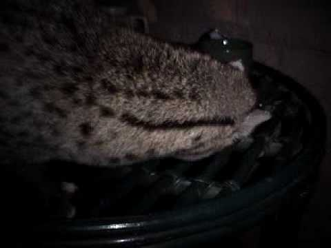 CIVET Civet Cat OUTSIDE MY ROOM Part 2