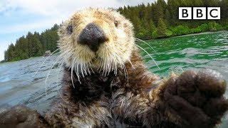 Cute otters intimately filmed by spy camera - Spy in the Wild: Episode 2 Preview - BBC One - BBC