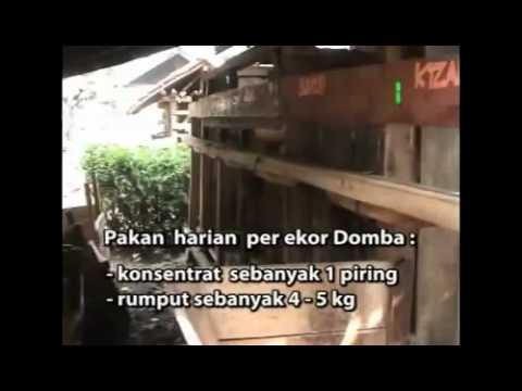 BUdidaya DOMBA GARUT   YouTube