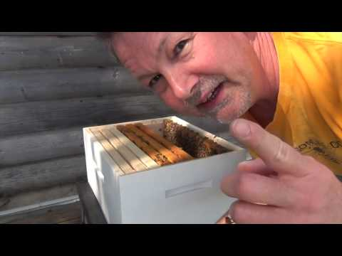Working A Bee Hive With No Smoke And No Protective Gear
