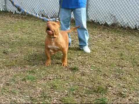 Major league Pit Bulls