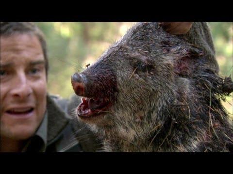 Bear Eats Wild Pig - Born Survivor 6