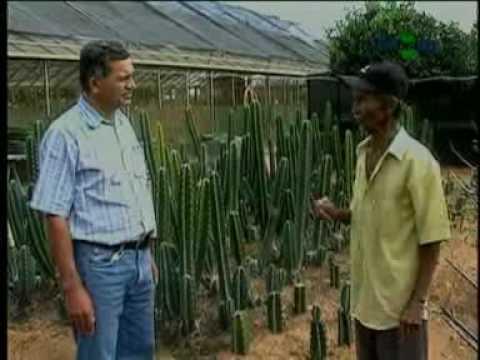 Plantio de mandacaru para uso forrageiro - Dia de Campo na TV