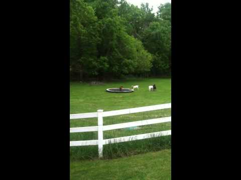 Goats playing on a trampoline