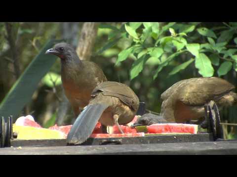 Belize birding at duPlooy's jungle lodge San Ignacio