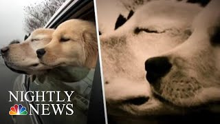Blind Golden Retriever Has His Own Four-Legged 'Seeing-Eye' Companion | NBC Nightly News - NBCNEWS