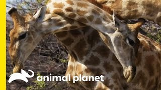 Giraffe Attack Reminds Us How Unpredictable Animals Can Be - ANIMALPLANETTV