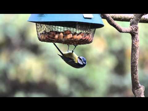 Cinciarella - Cyanistes caeruleus alla mangiatoia