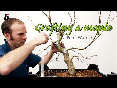 PETER WARREN FIELD MAPLE GRAFTING
