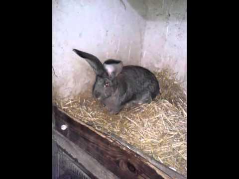 Élevage de lapin géants des Flandre pure race