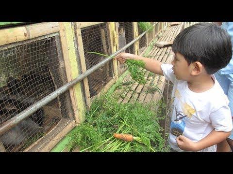 Ternak Kelinci: Ternak Kelinci Anggora yang Benar