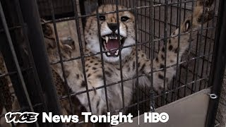 We Played Matchmaker For Cheetahs Stuck In A Dry Spell (HBO) - VICENEWS