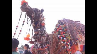 Rajasthan: Annual Pushkar camel fair begins, tourists arrive to witness  colourful events - TIMESOFINDIACHANNEL