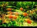 Ikan Hias PLATY SUNSET