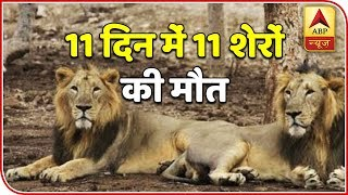Namaste Bharat: 11 lions found dead in Gujarat's Gir forest within 10 days - ABPNEWSTV