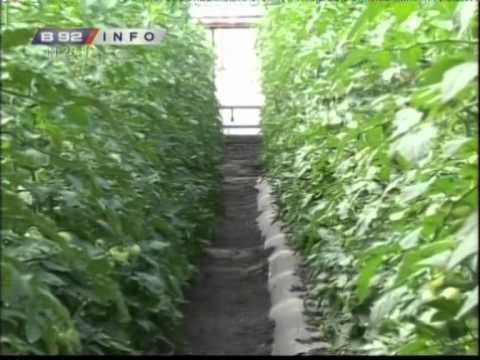 Istovremeno i plastenk i staklenik a i prica o hibridima paradajza grejanju trgovini