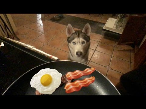 What a Begging Husky Looks Like!
