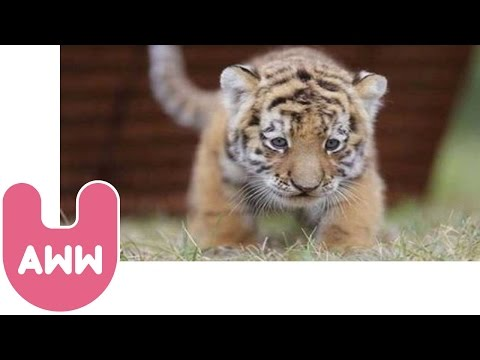 Cute Siberian Tiger Cubs