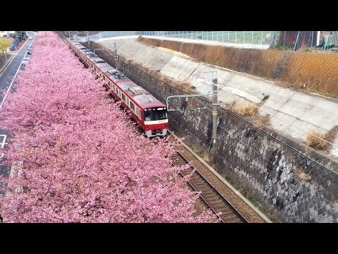 Beautiful cherry blossom(Kawazu sakura) along the railway in Japan. 京急沿いの三浦海岸の河津桜