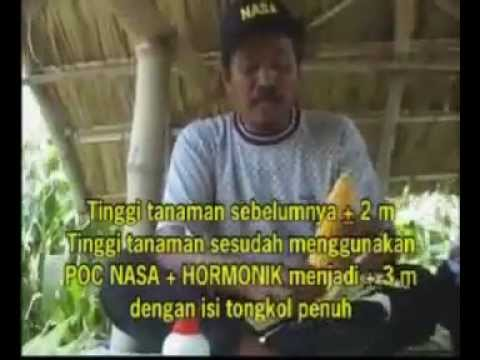 Kesaksian JAGUNG pupuk organik Natural Nusantara NASA   YouTube
