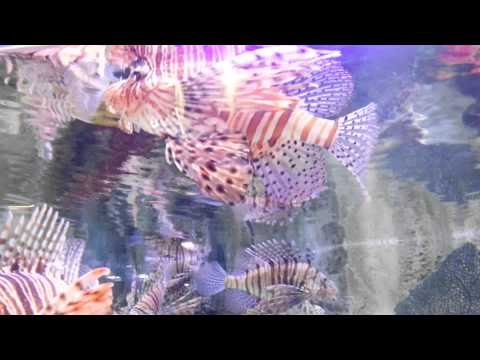 Lion Fish at Dubai Mall Underwater Zoo