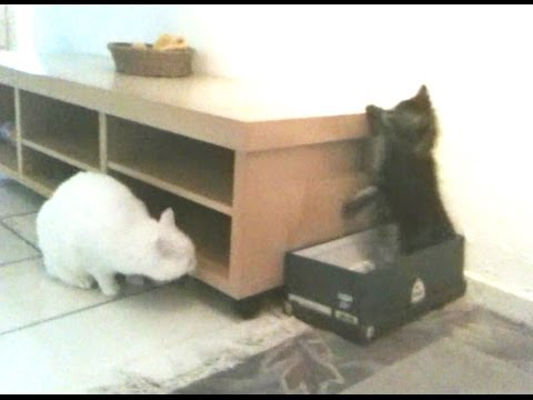 Funny Kitten vs Cat (Amazing Cat Fight)