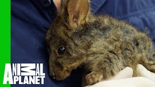 Carefully Cleaning Up A Nasty Wound On The Cutest Baby Wallaby | Vet Gone Wild - ANIMALPLANETTV