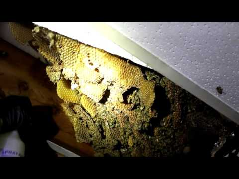 Beekeeping with Cody 2016: Wild Bee Removal (Uninstalling Bees)