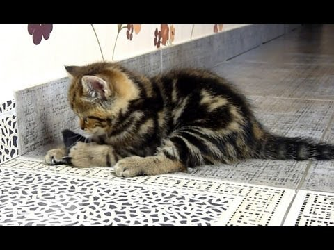 How to catch  a mouse ( Funny and cute kitten hunter ever)