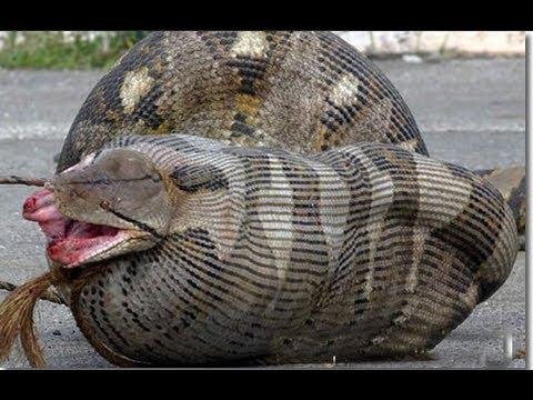 Jóvenes encuentran a pitón más grande de la historia en Florida / Young found largest python