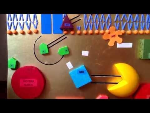 Mecanismo de acción de la insulina- UDLA Medicina Ecuador