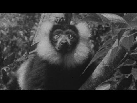 The Magnificent Ruffed Lemur - #AttenboroughWeek - Zoo Quest to Madagascar - BBC