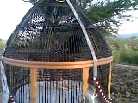 kala teetar black francolin .mp4