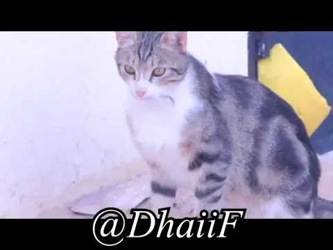 حمامة و بسة ( قطة )    +    Dove vs  Cat