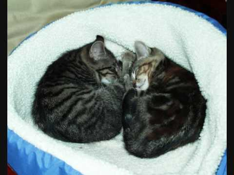 Baby Kittens named Nimr and Bissy