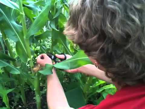 How to Pollinate Corn