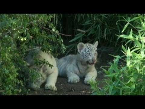 Rare White Tiger Cubs Make First Public Appearance